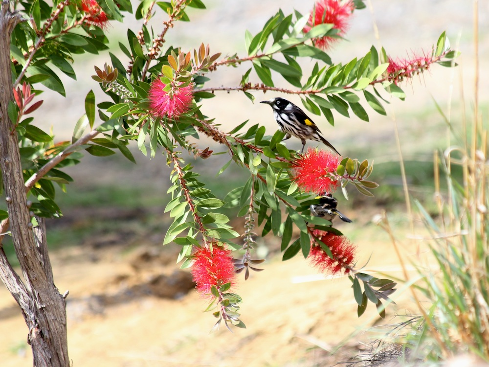 black and white honeyeater on red flowers