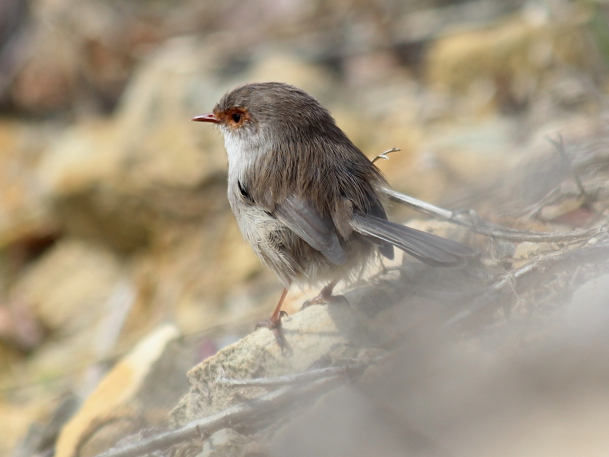 small brown wren