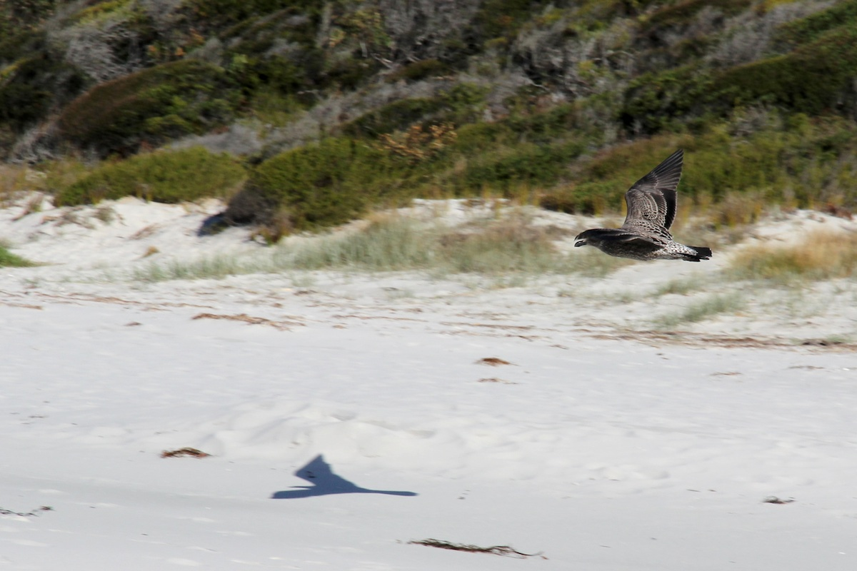 brown gull flying over beach