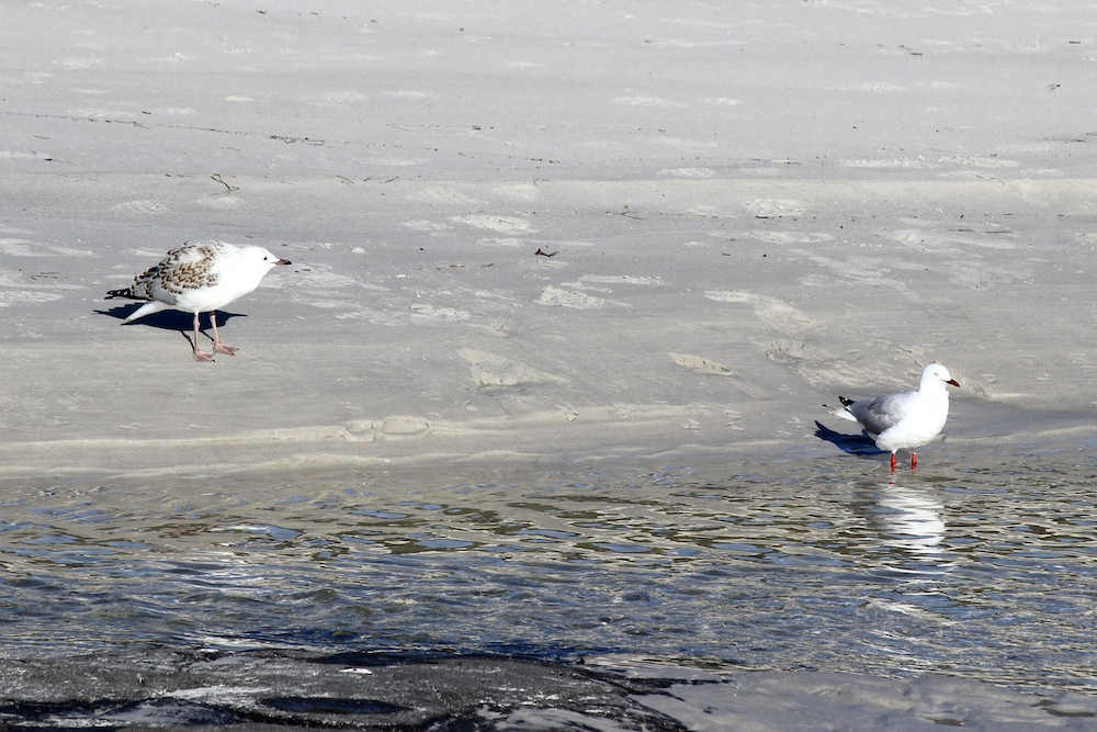 two gulls