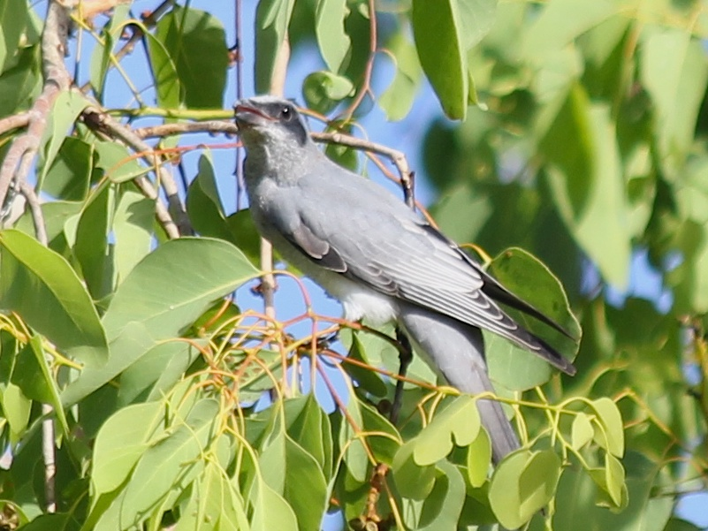 grey bird in poplar gum