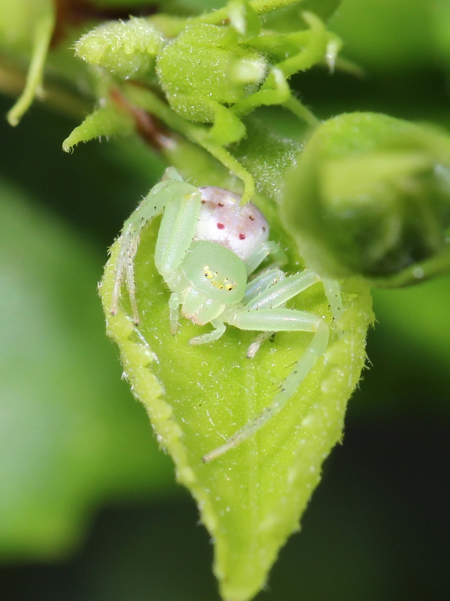 green spider with pink and white back