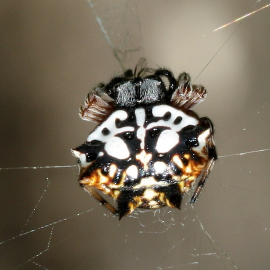 black spiny spider with white pattern