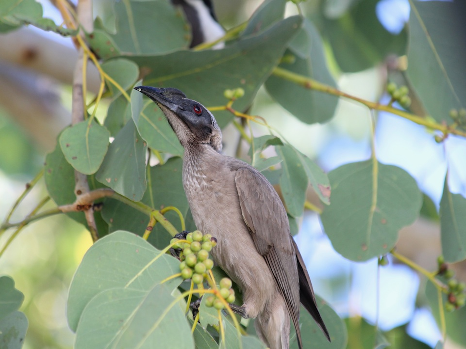 Helmeted Friarbird in Poplar Gum