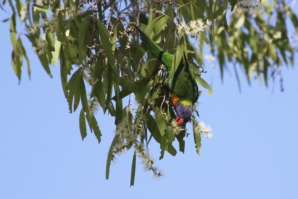 Rainbow Lorikeet feeding on paperbark blossom