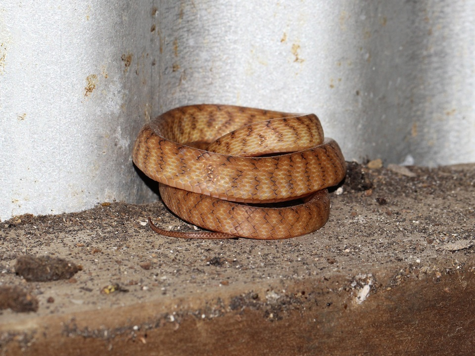 Brown tree snake curled up peacefully against the corrugated iron wall