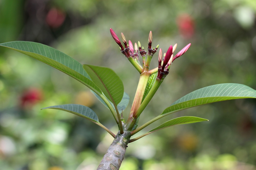 Frangipani buds and new leaves