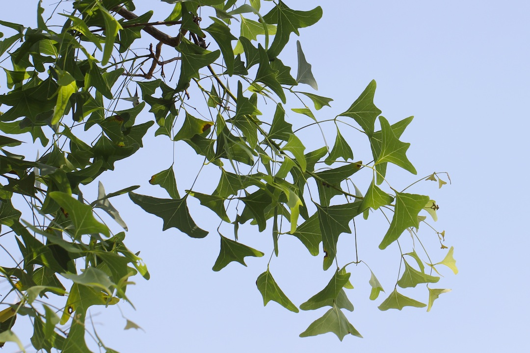 bat-shaped leaves