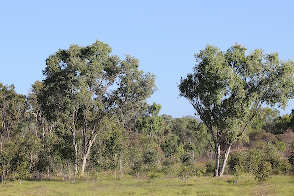 trees in grassland