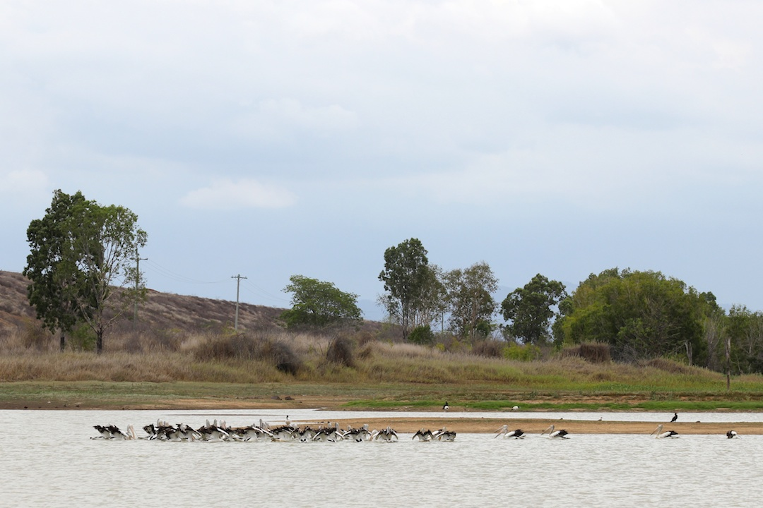 dam with pelicans