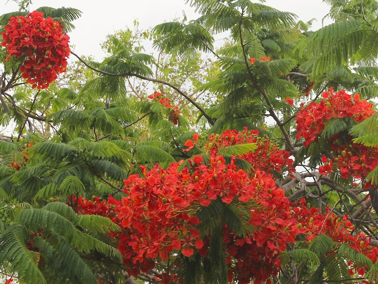 feathery foliage and red flowers