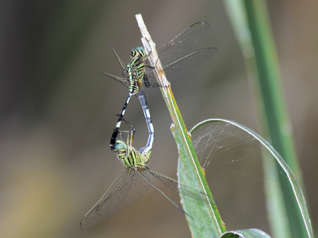 green dragonflies mating