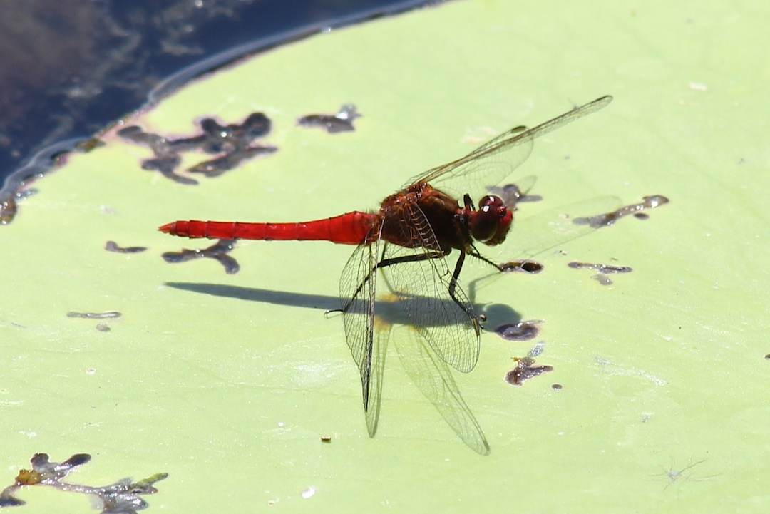 red-bodies dragonfly on waterlily leaf
