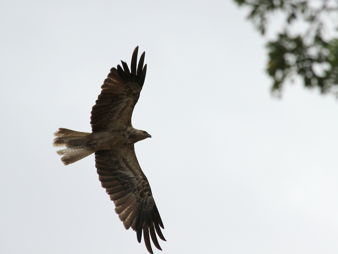brown hawk in flight