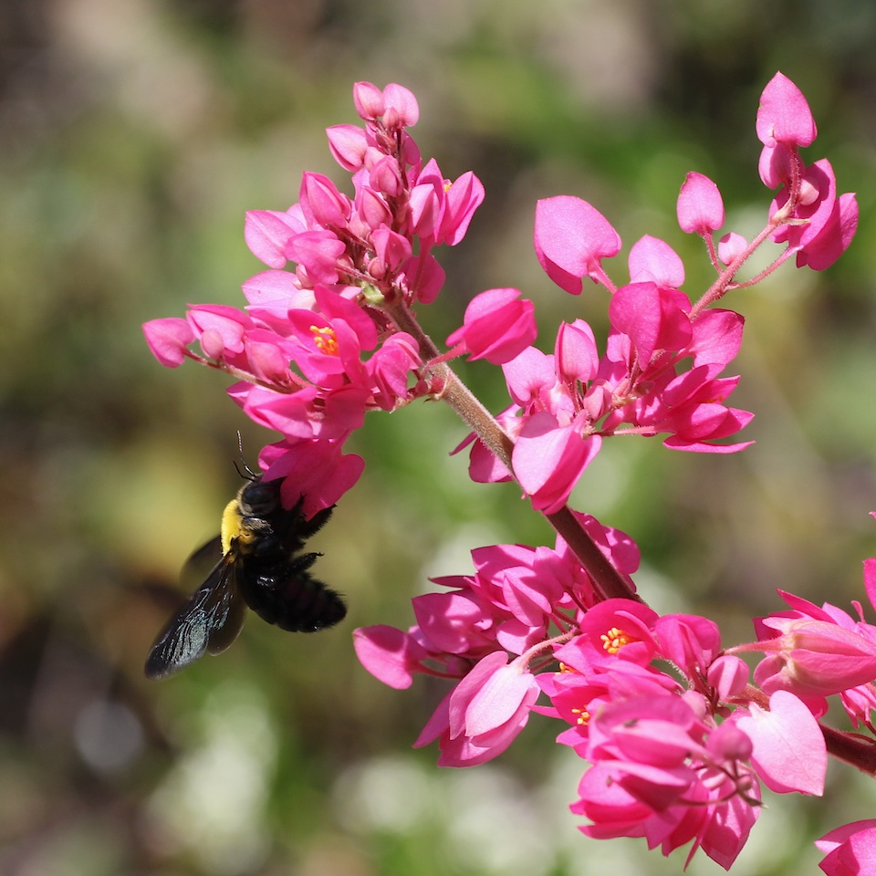 black and gold bee on pink flowers