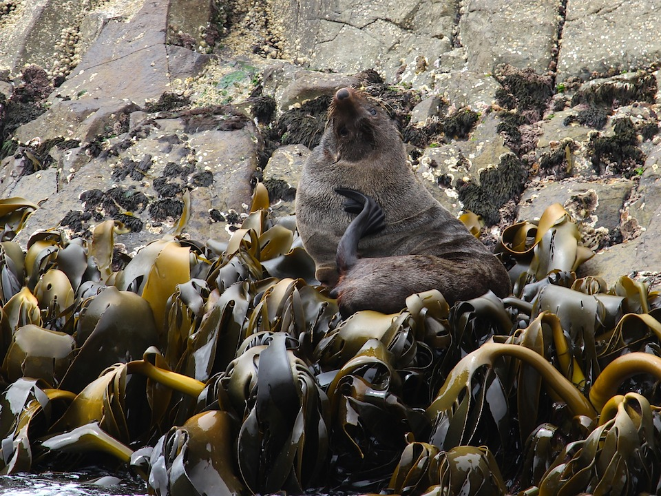 seal at ease on a bed of kelp