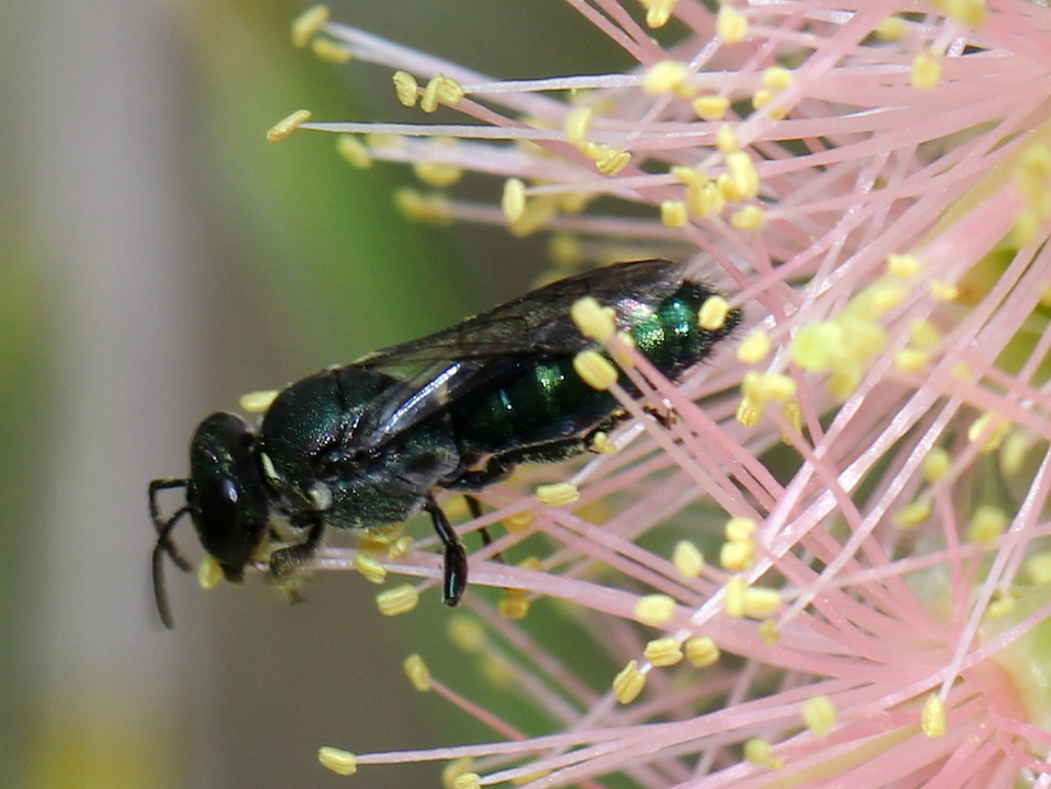 Green bee amongst the stamens