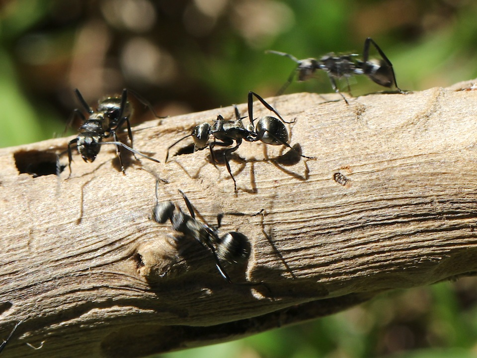silver-charcoal ants