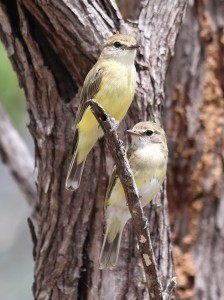 two yellow-fronted birds on branch