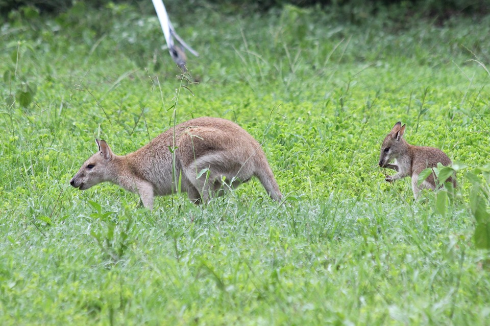 adult and half-grown wallabies