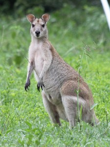 Adult wallaby standing alertly