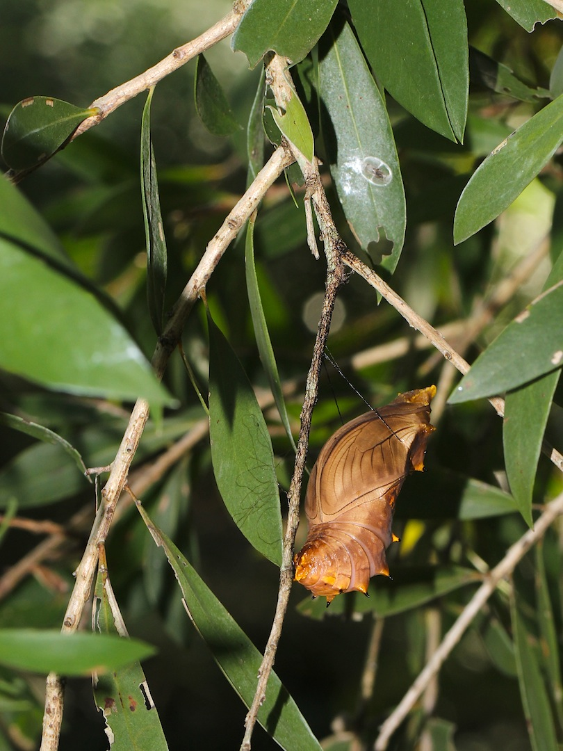 brown pupa in tree