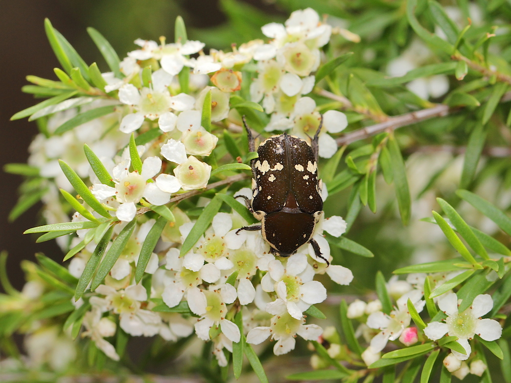 brown beetle on white flowers