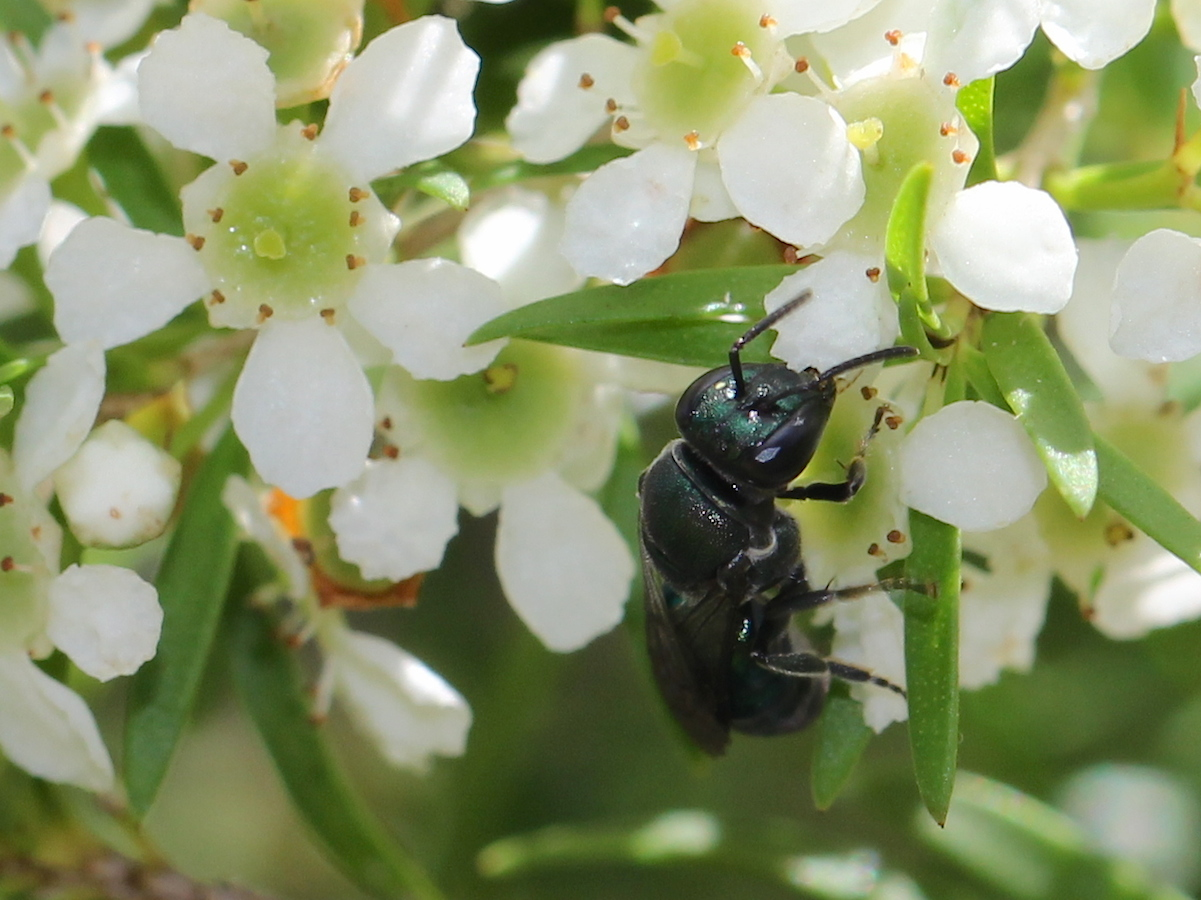small green bee on white flowers