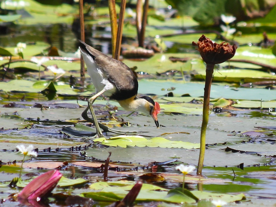 small wading bird on lily pads