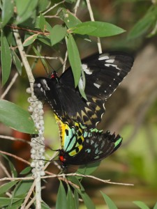 black and green butterflies