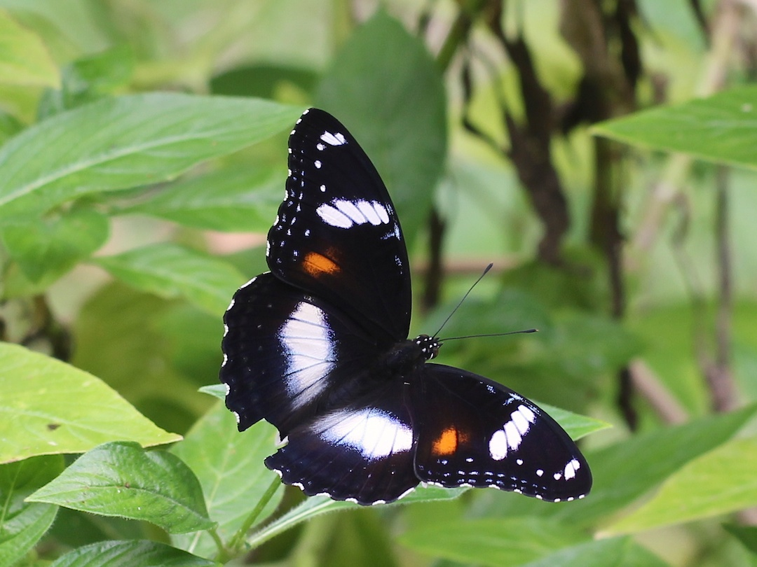 dark butterfly with white and orange markings