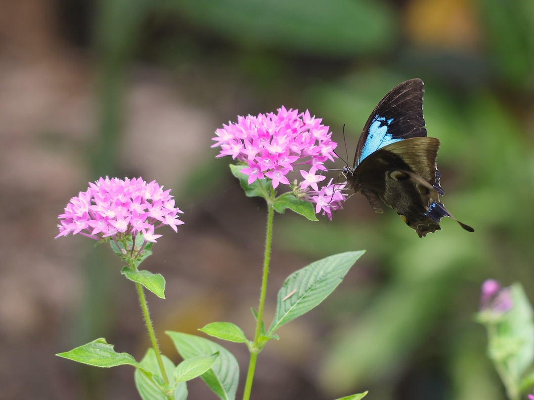 Ulysses Swallowtail hovering to feed on Pentas
