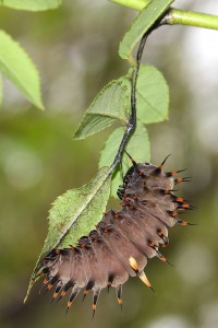 caterpillar hanging from leaf