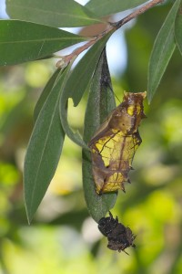 birdwing butterfly chrysalis