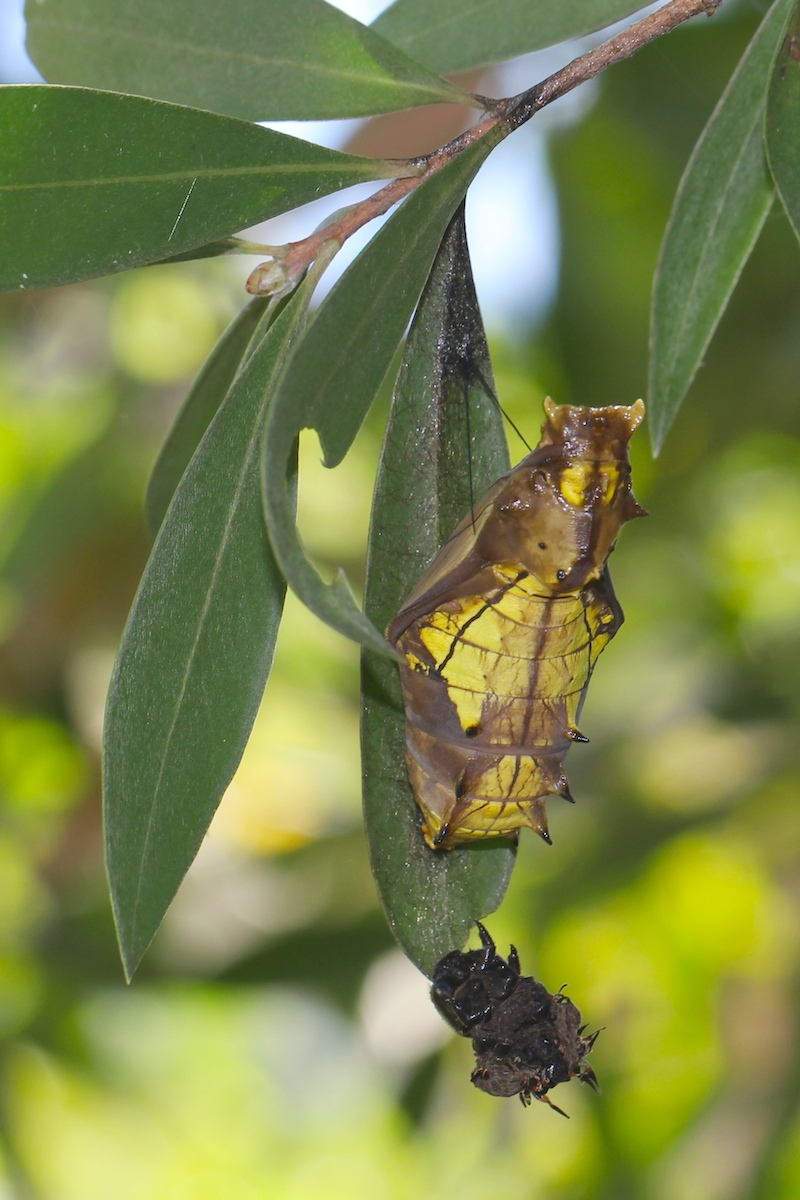 Cairns Birdwing Butterfly Pupation And Emergence