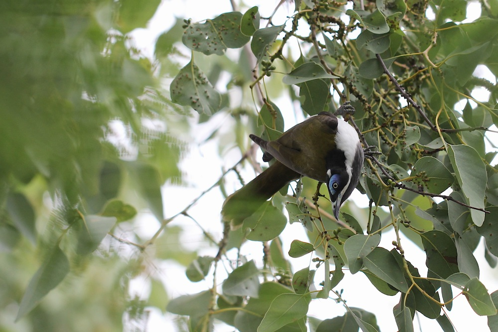 honeyeater in foliage