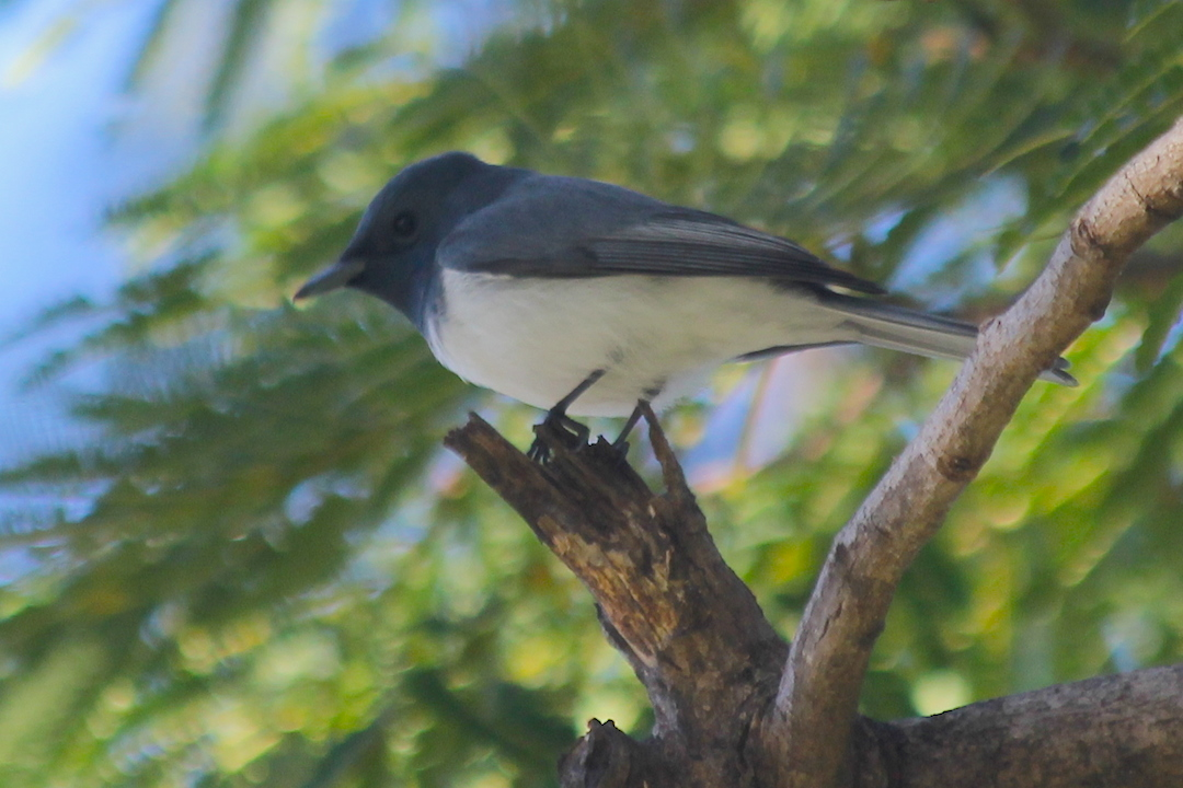 Leaden Flycatcher in the poinciana tree