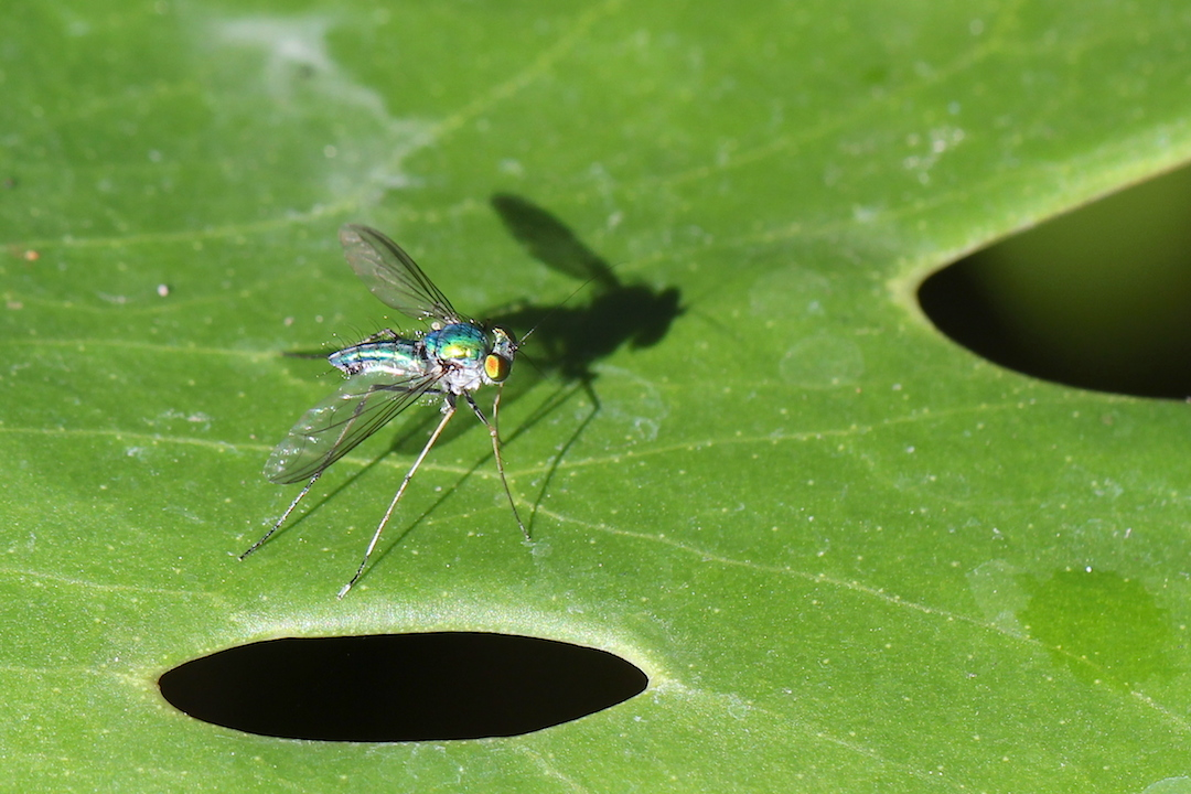metallic fly on leaf