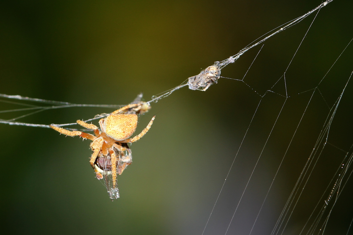 orange spider on web
