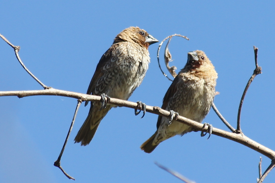 brown finches on twig