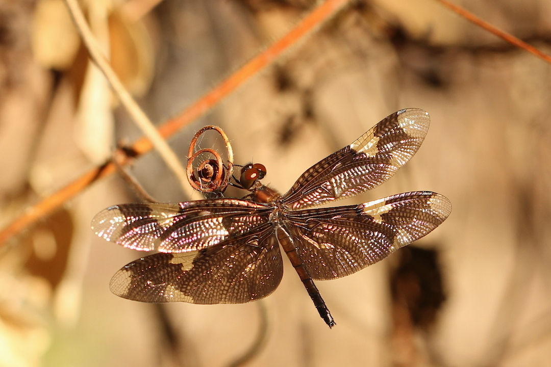 Purple dragonfly perching on a tangle of dead creepers
