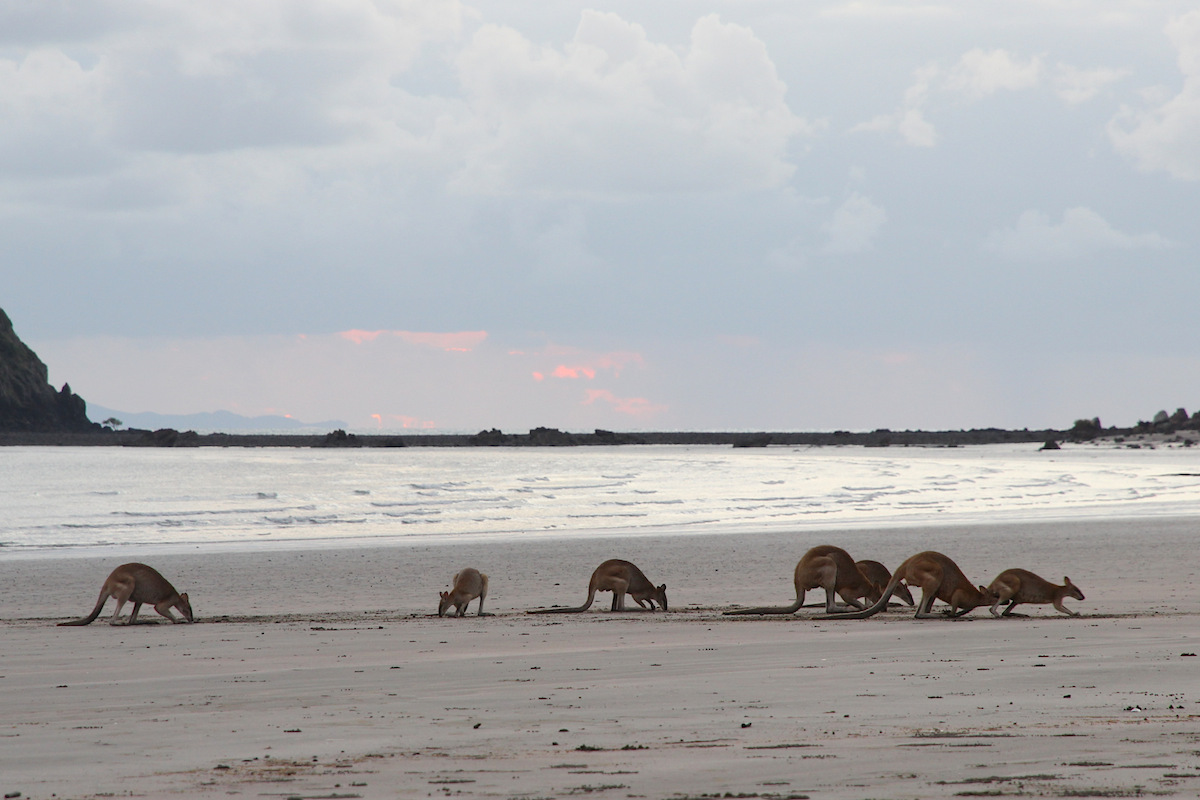 wallabies on flat beach