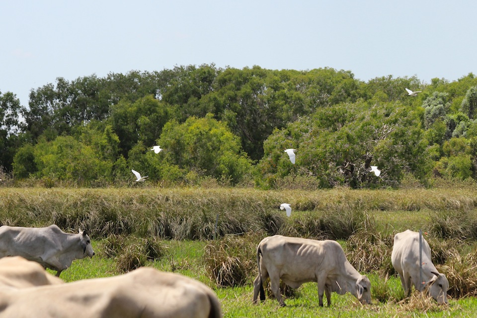 cattle and birds