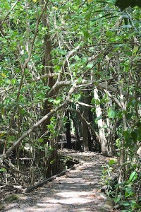 boardwalk through mangrove forest