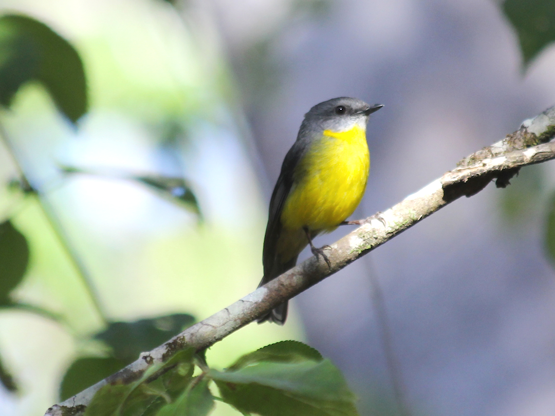 yellow-breasted bird