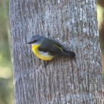 grey and yellow bird