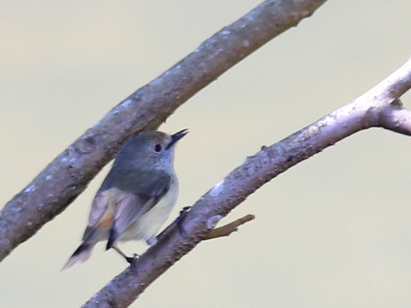 small grey bird on twig