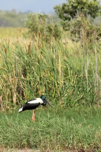 black and white bird in bulrushes
