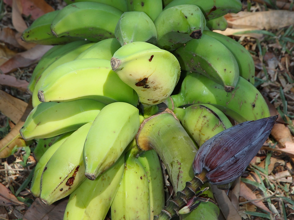 bunch of green bananas