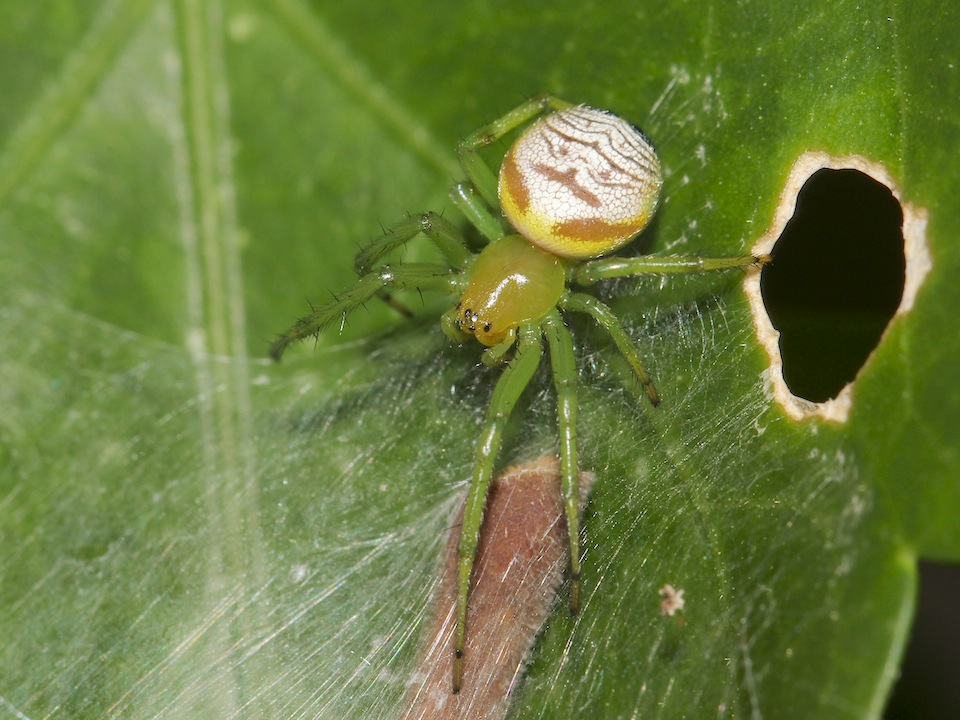 green and white spider on leaf